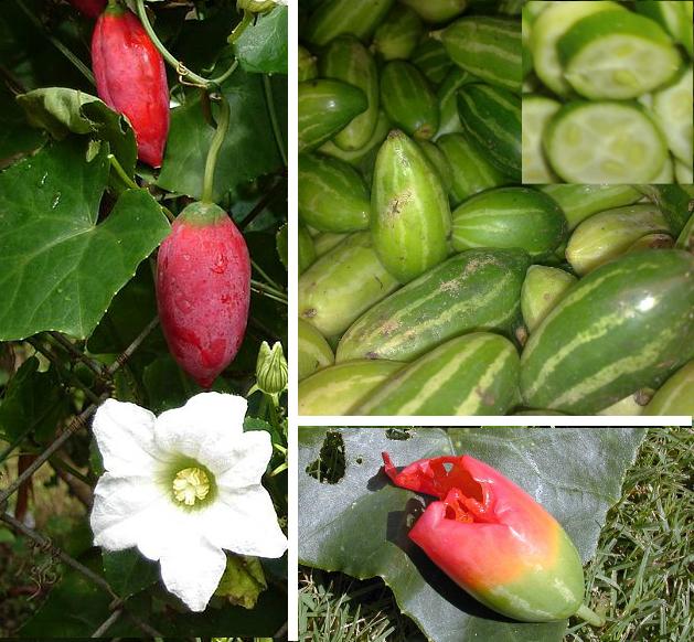 Ivy Gourd Health Benefits