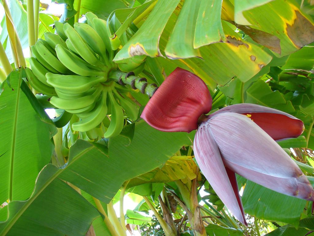 Benefits of Banana Flower