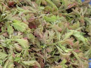 Tender Tamarind Leaves Benefits