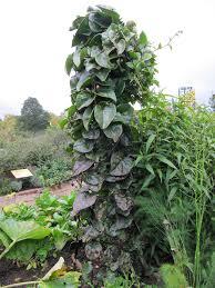 Health Benefits of Malabar Spinach