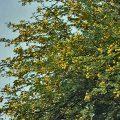 Acacia Tree Medicinal Uses